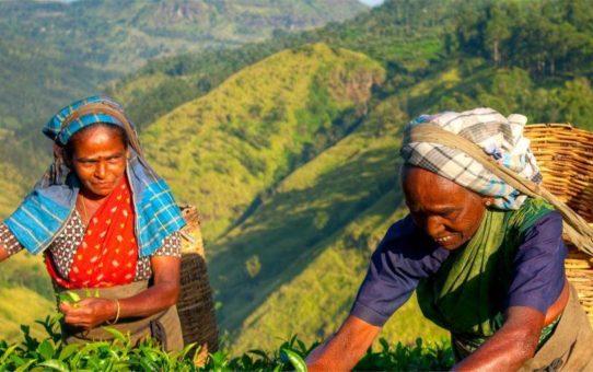 Праздник урожая Тай Понгал на Шри-Ланке