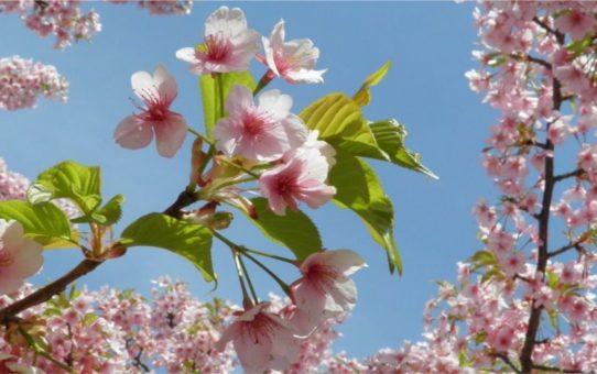День весеннего равноденствия Vernal Equinox Day в Японии