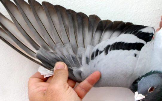 Ярмарка почтовых голубей «фугаре» в Кортрейке