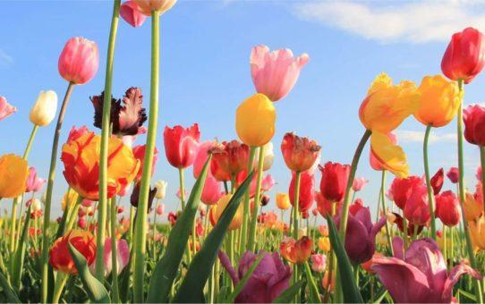 Рынок цветов на праздник Вознесения в Леувардене
