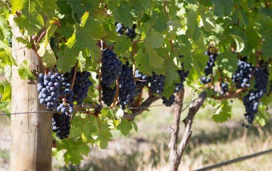 Праздник вина Harvest в Кейптауне