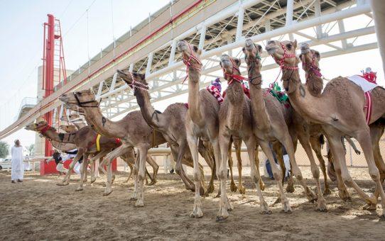 Сезон верблюжьих бегов в Дубае
