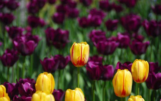 Канадский фестиваль тюльпанов в Оттаве