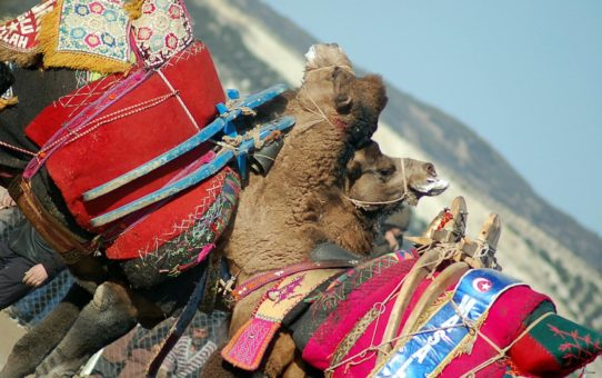 Чемпионат верблюдов в Турции