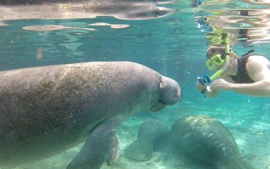 Плавание с ламантинами во Флориде