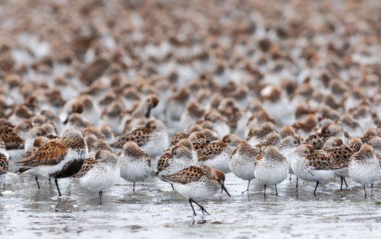 Миграция птиц в дельте реки Коппер, Аляска