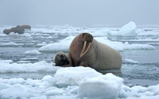 Наблюдение за моржами на Аляске