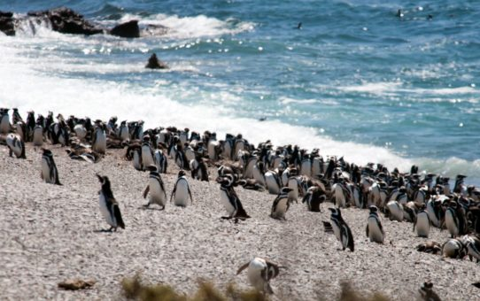 Наблюдение за пингвинами в Патагонии