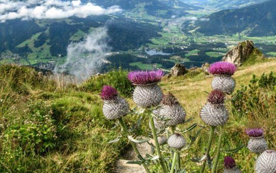 Альпийский цветник Китцбюэль  в Австрии