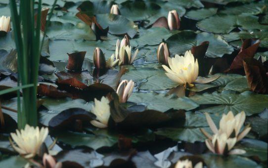Цветение водяных лилий в Австрии