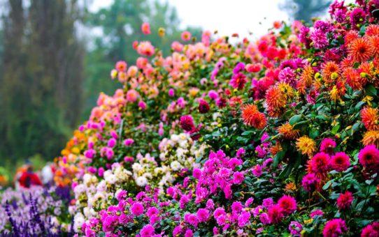 Цветы острова Майнау