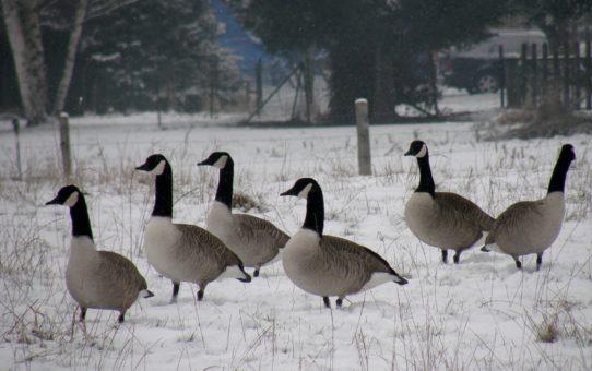 Сезонные миграции птиц в Бельгии