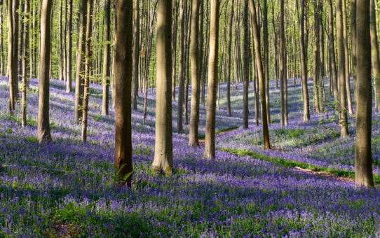 Бельгийский лес Халлербос