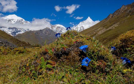 Цветущий сезон для эдельвейса и горечавка в Бутане