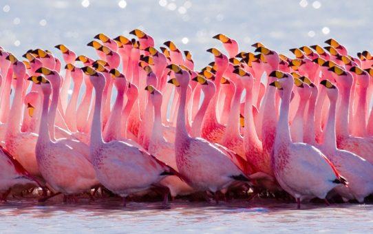 Наблюдение за фламинго в Боливии