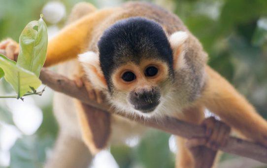 Миграция обезьян саймири в Боливии