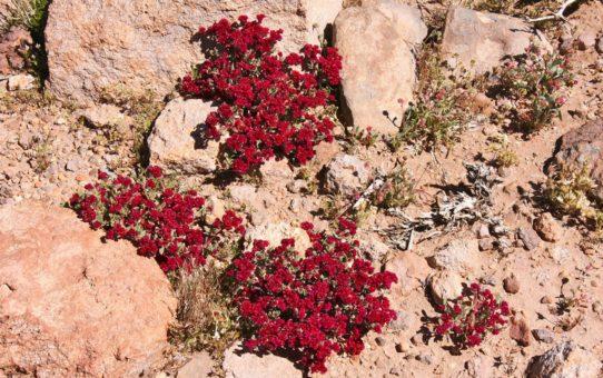 Сезон полевых цветов в Боливии