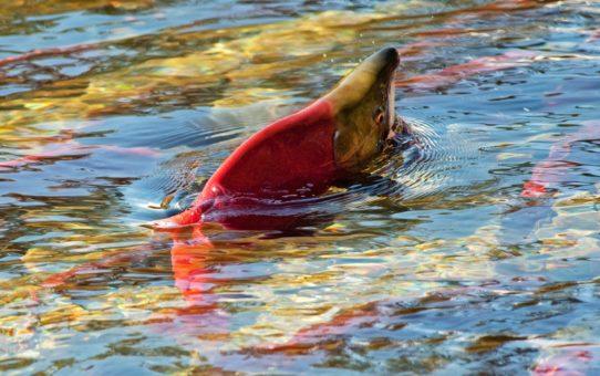 Забег лососей в Ванкувере, Канада