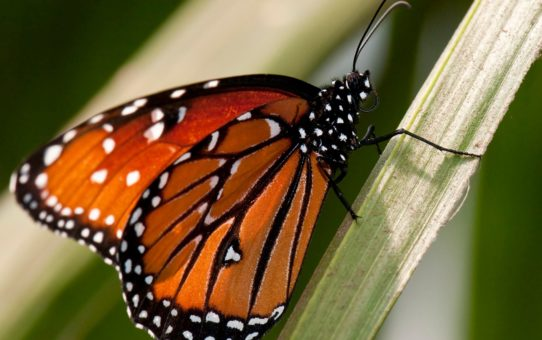 Миграция бабочек Монарх в Калифорнии