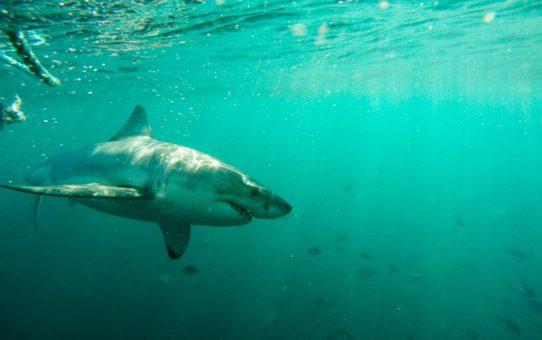 Дайвинг с белыми акулами в Кейптауне