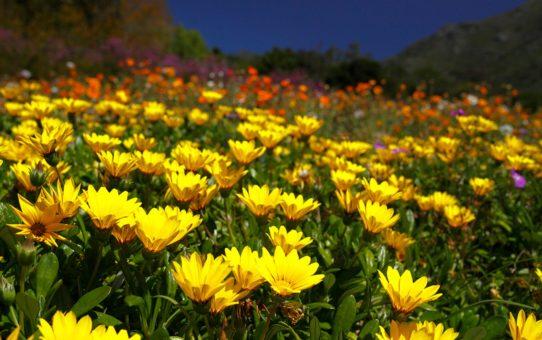 Сезон полевых цветов в Кейптауне
