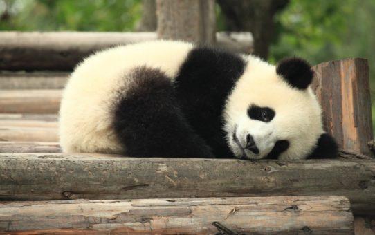 Наблюдение за гигантсками пандами