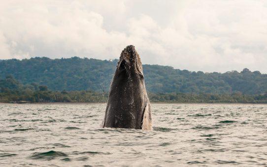 Миграция горбатых китов в Колумбии
