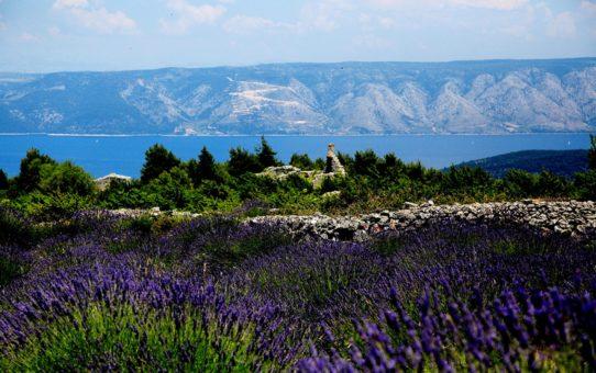 Цветение лаванды на острове Хвар, Хорватия