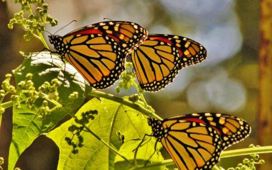 Миграция бабочек Данаида монарх на Кубе