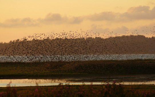 Черное солнце или мурмурация птиц в Дании