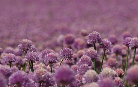 Цветочные поля в Дании