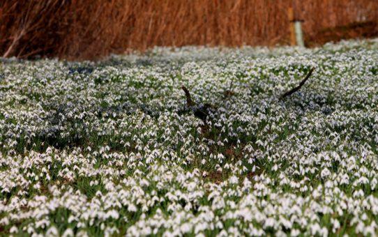 Время цветения подснежников в Эдинбурге