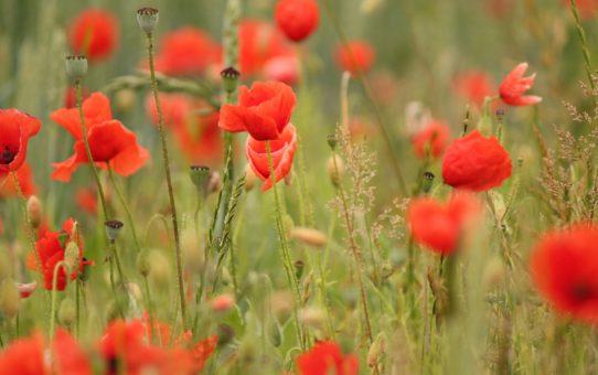 Цветение макового поля в Лондоне