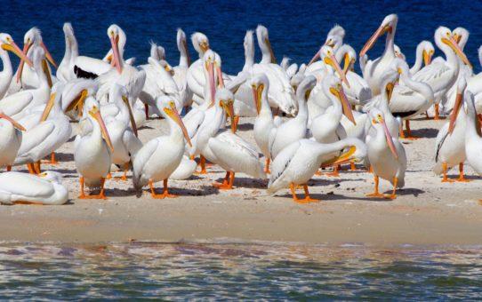 Белые пеликаны во Флориде