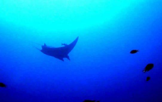 Наблюдение за скатами манта на Канарских островах