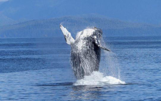 Наблюдение за китами на Галапагосских островах