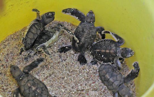 Вылупление черепах в Большом Барьерном рифе