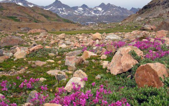 Цветущие долины Гренландии