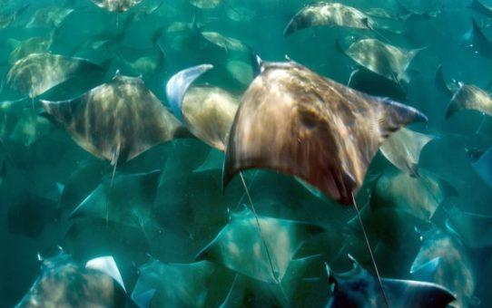 Миграция Золотого ската во Флориде