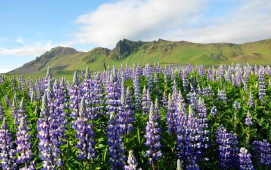 Цветущий Люпин в Исландии