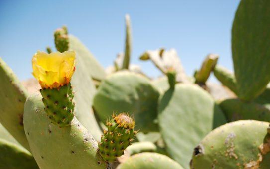 Сезон цветущих кактусов в Израиле