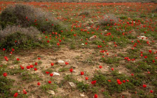 Сезон цветения пустыни в Израиле