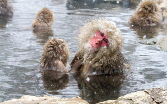 Миграция снежных обезьян в Японии