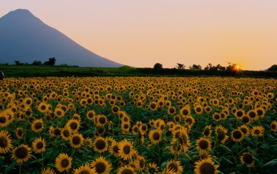 Цветение подсолнухов в Японии