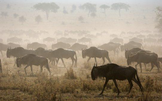 Миграция Гну в Кении