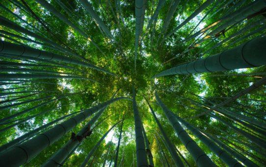 Бамбуковый лес Сагано (Арасияма) в Киото, Япония