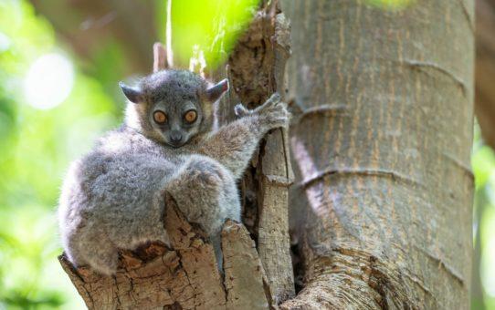 Новорожденные лемуры в Мадагаскаре