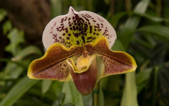 Цветение орхидей «Дамский башмачок» на Рождество в Мадейре