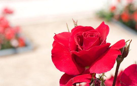 Ла-Росаледа (сад роз) в Мадриде