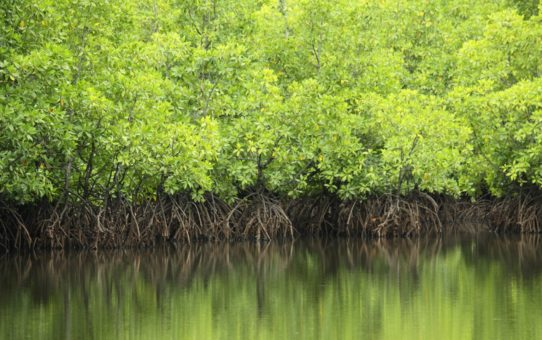 Мангровые леса в Малайзии